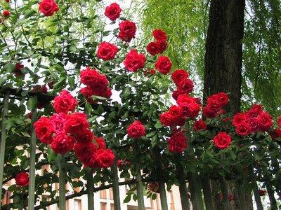 roseira