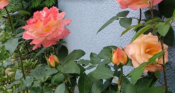 roseiras-1