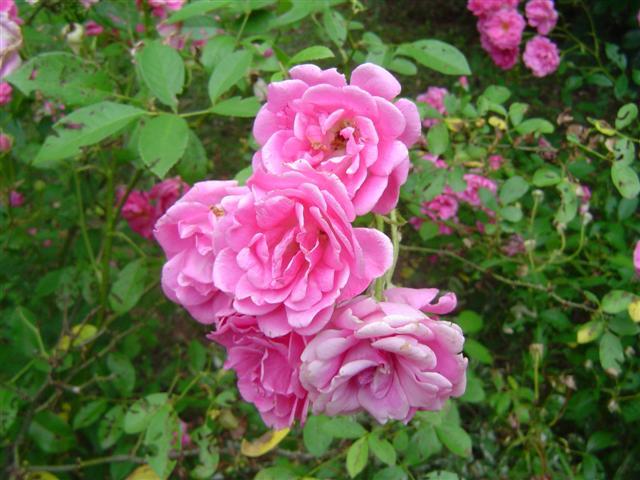 roseiras- (Small)