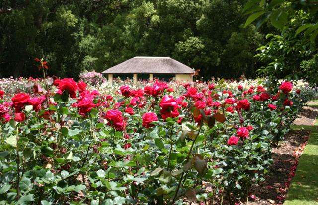 roseiras-rasteiras