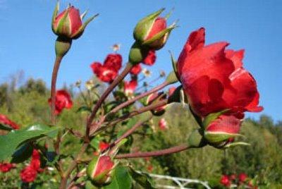 roseiras