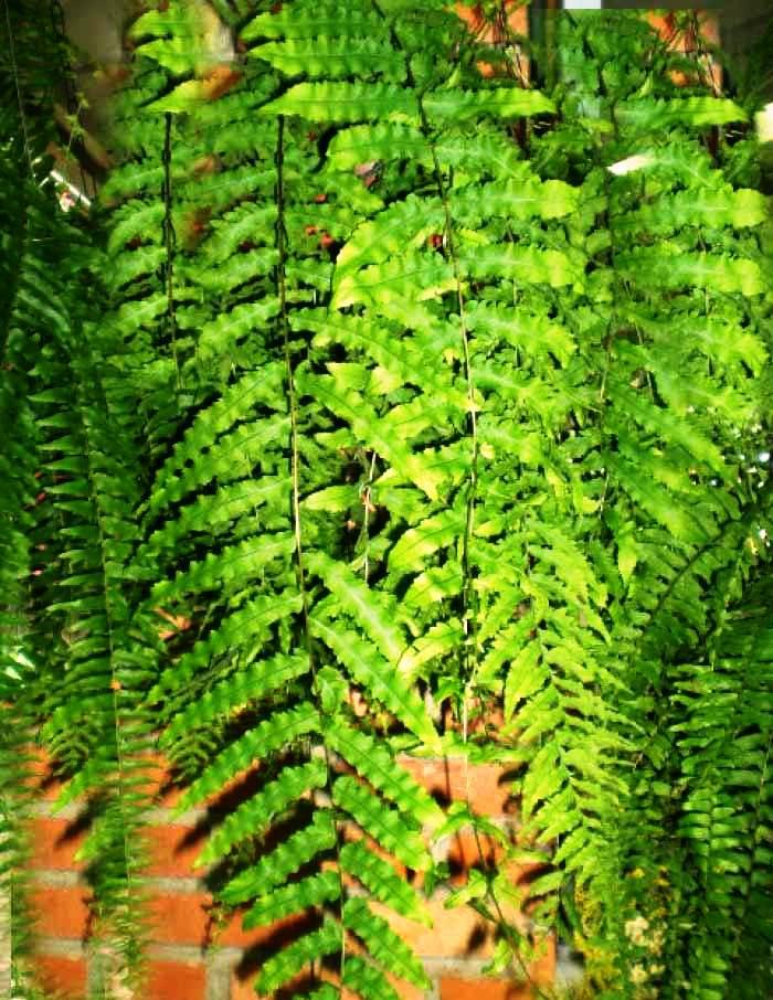 imagens nature Sua Samambaia está doente, como salvála?