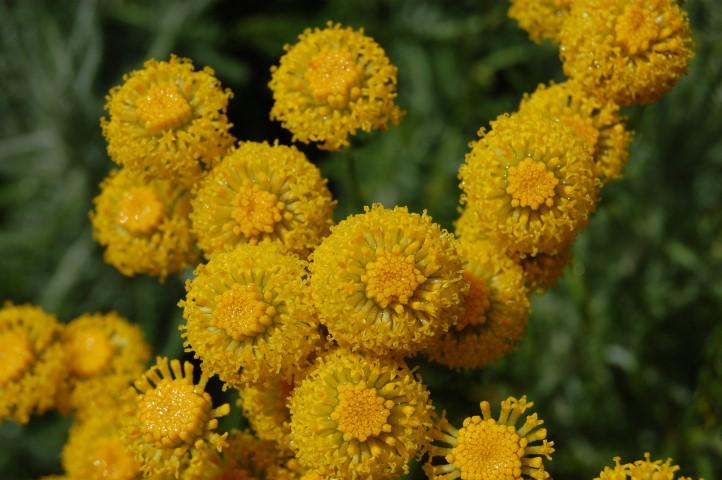 santolina-chamaecyparissus-