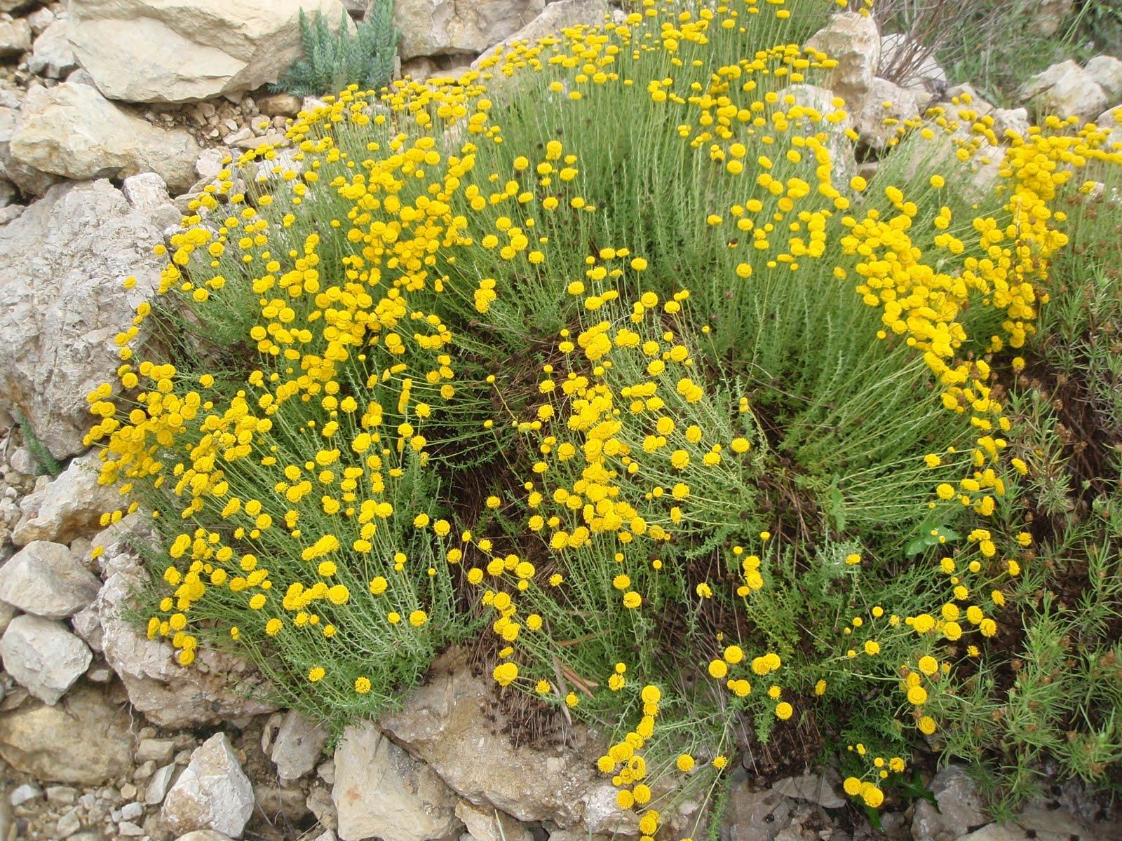 santolina-chamaecyparissus- poi