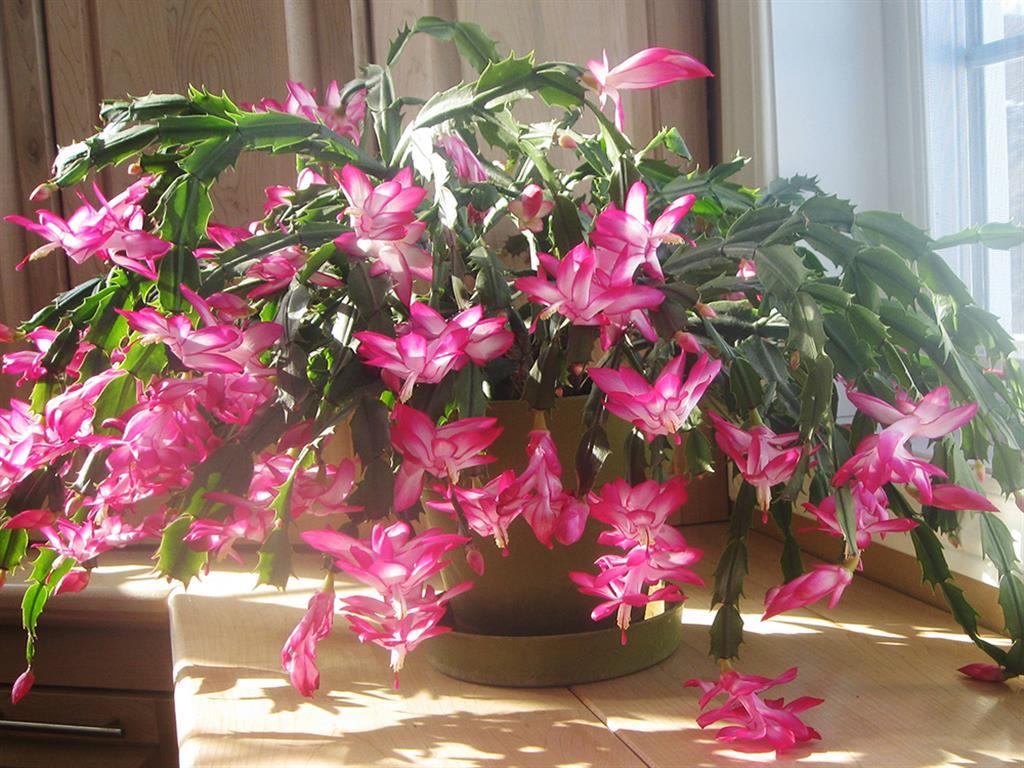 schlumbergera-truncata