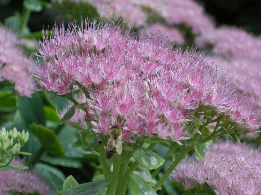 sedum-vistosos-flores