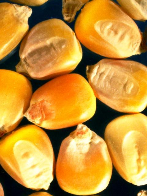 semente-monocotiledonea