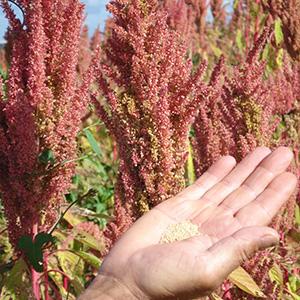 sementes de amaranto