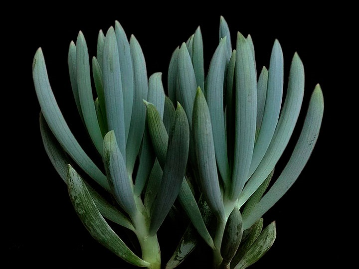 senecio-serpens