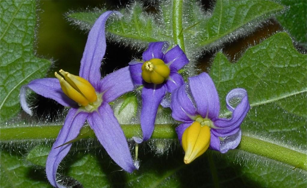 solanum-mammosum-flores-4