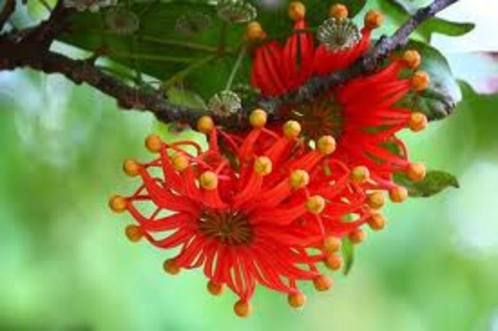 stenocarpus-sinuatus