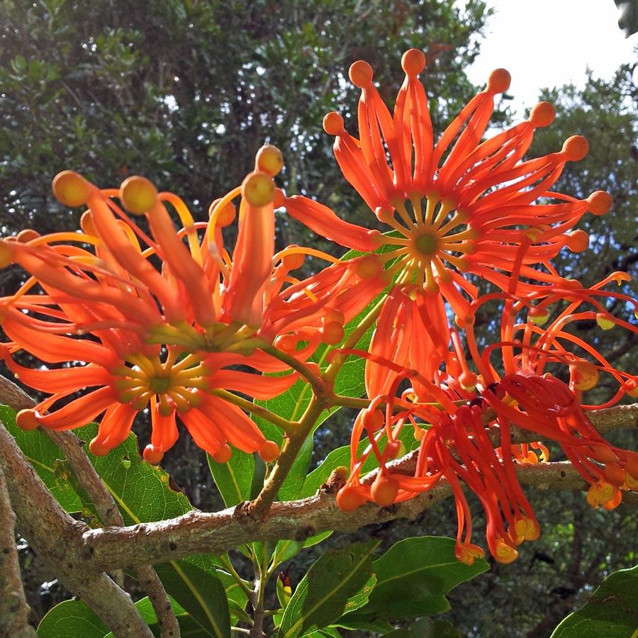 stenocarpus-sinuatus11