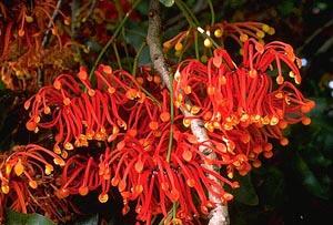 stenocarpus_sinuatus10