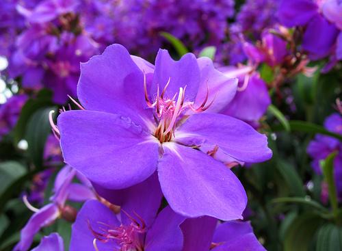 tibouchina grandflora