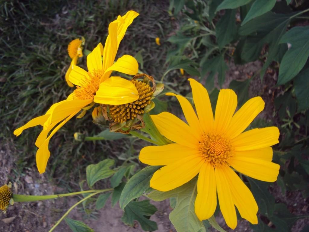 tithonia Diversifolia