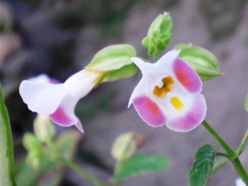 torenias-flores