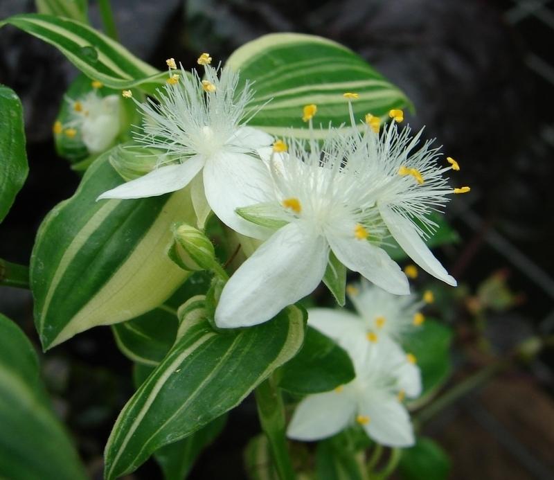 tradescantia variegata