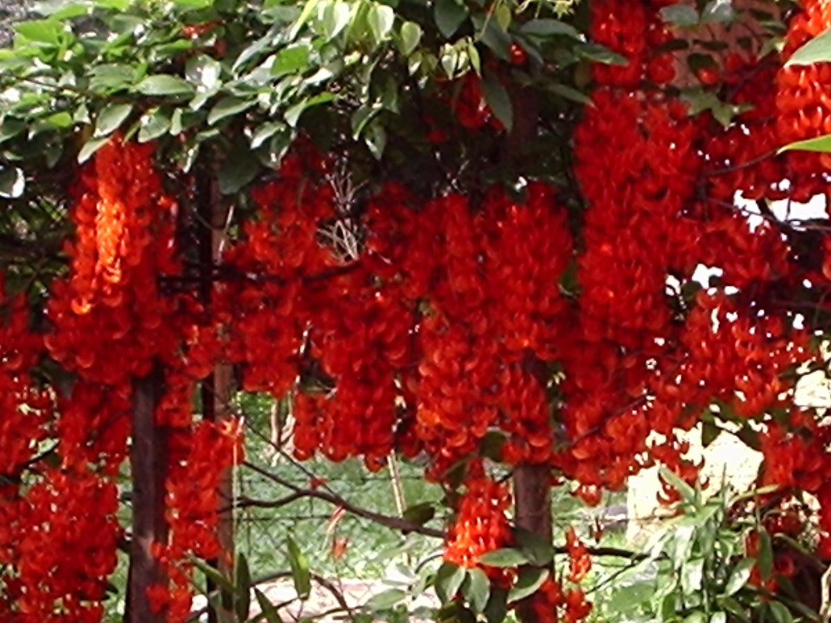 trepadeira-jade-vermelha
