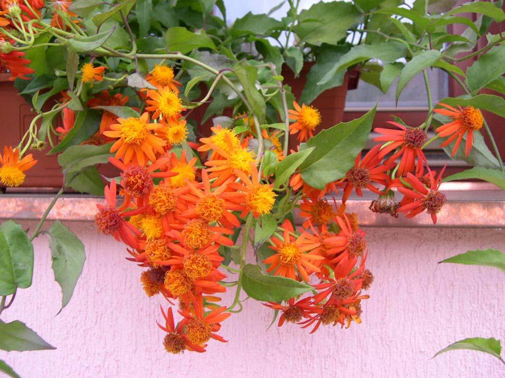trepadeiras-mexicanas-flores
