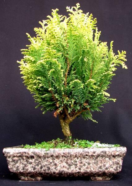 Rega do bonsai plantasonya o seu blog sobre cultivo de plantas e flores - Plantas para bonsai ...