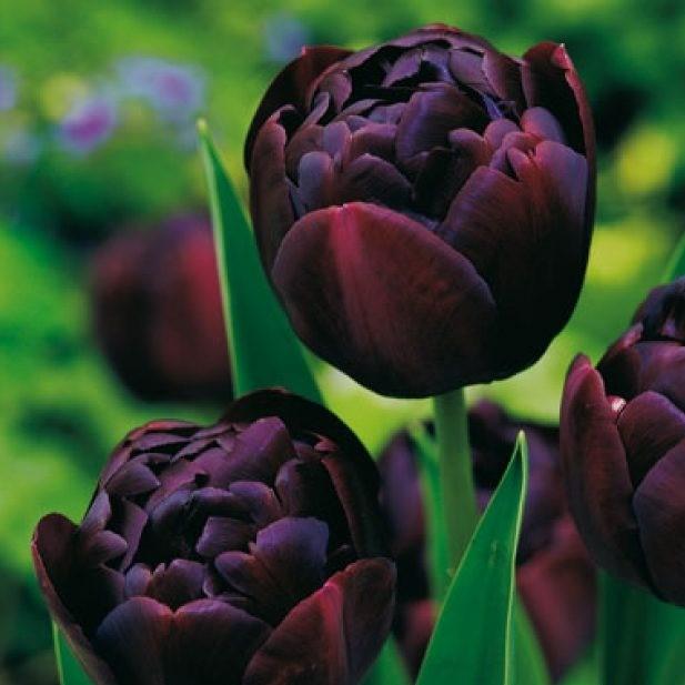 tulip-negr