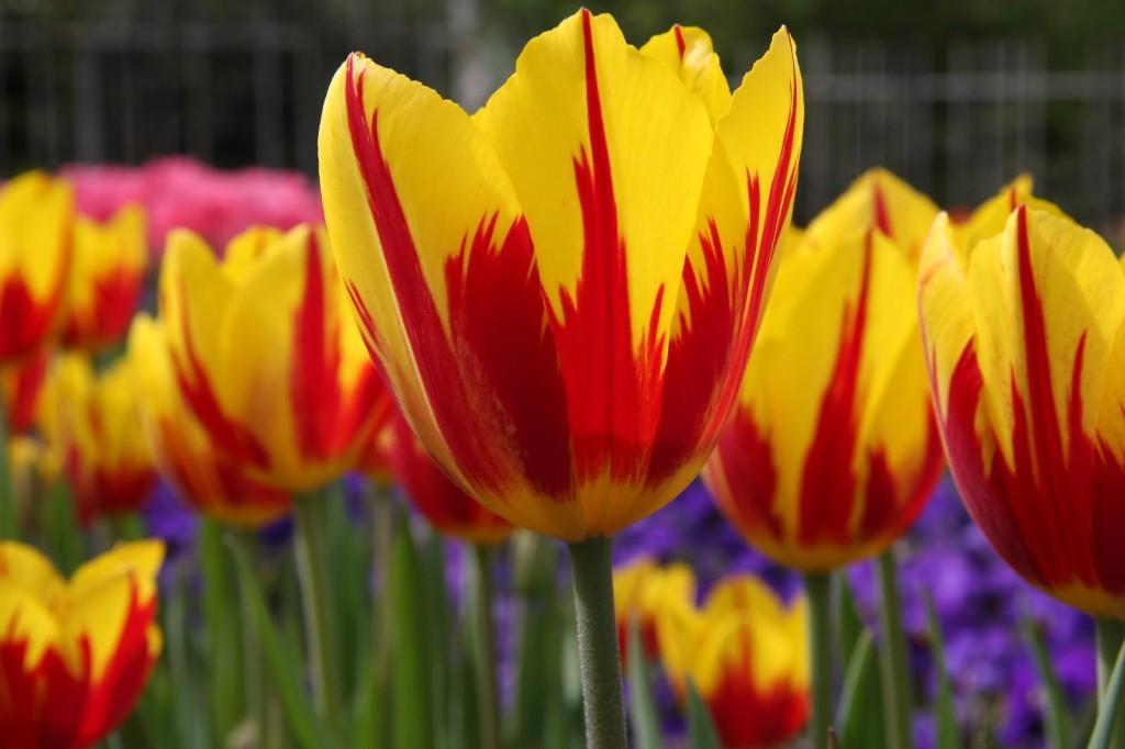 tulipa-44