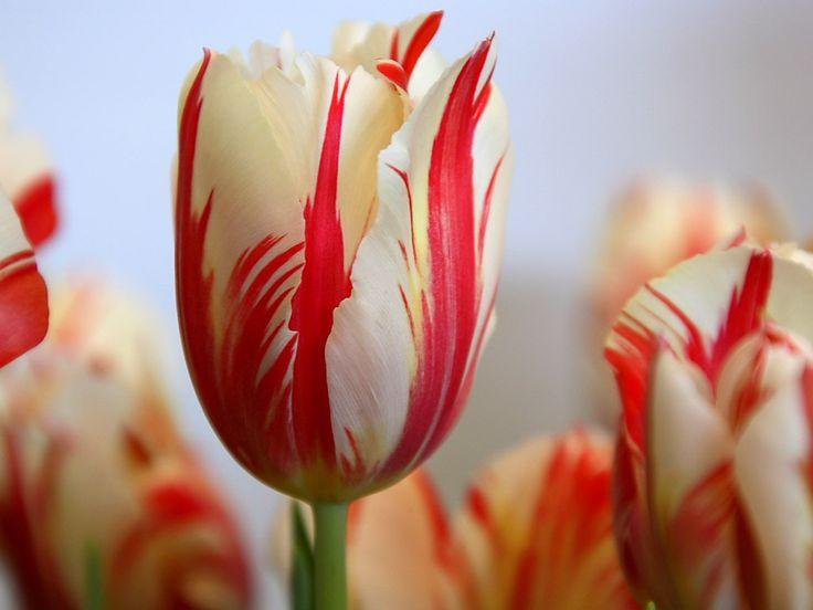 tulipa (66)