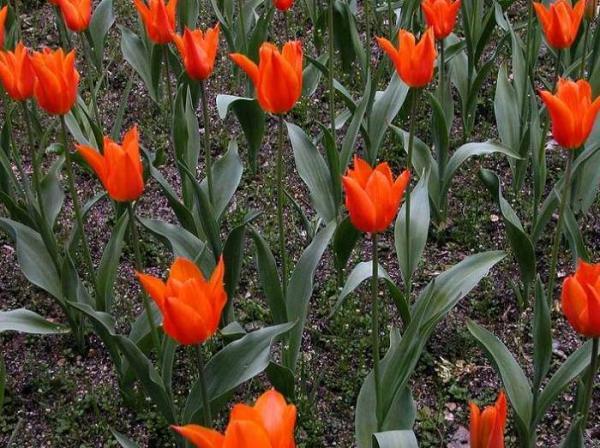 tulipa Bailarina