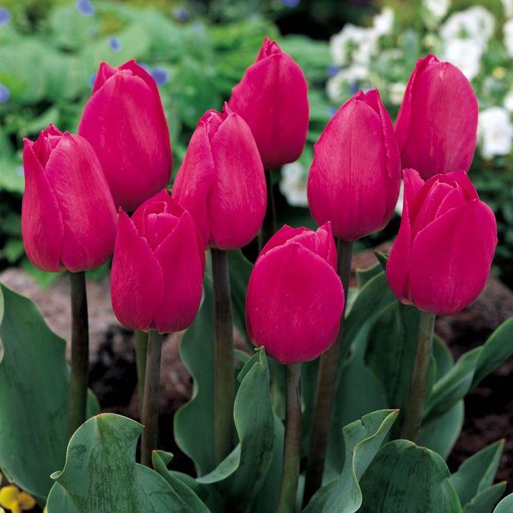 tulipa pink