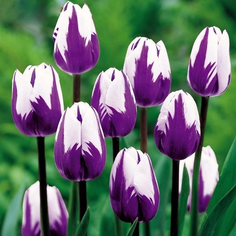 tulipa roxa