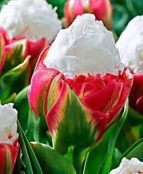 tulipa sorvete
