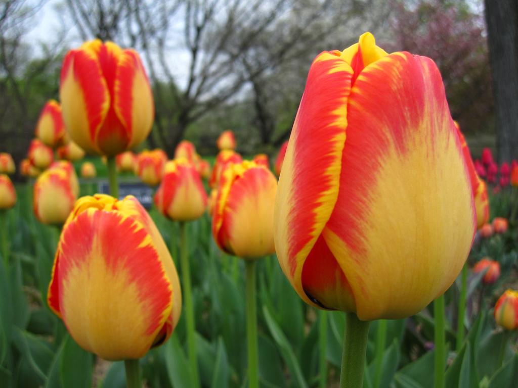 tulipa22