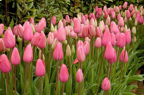 tulipa_