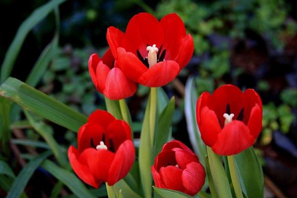 tulipa_3