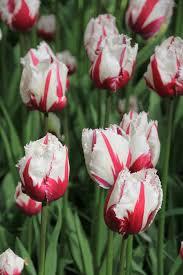 tulipa_89