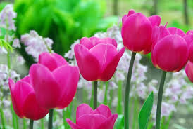 tulipabarcelona