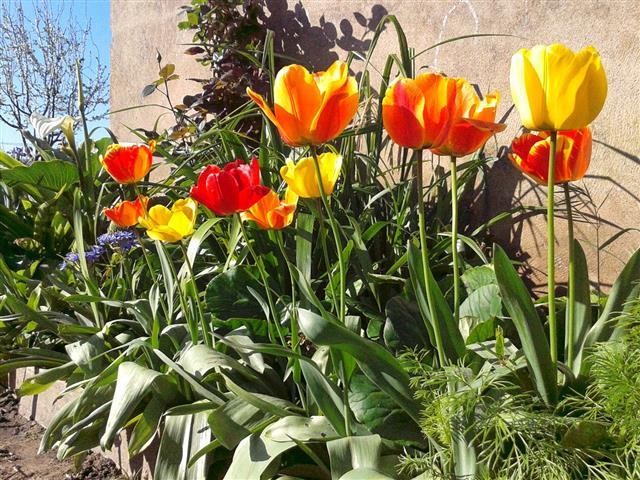 tulipas Darwin