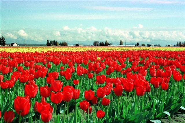 tulipas (Small)