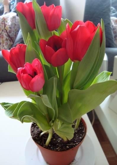 tulipas-em-vasos