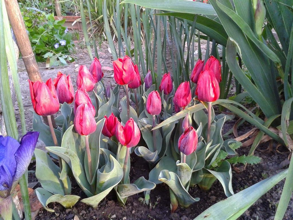 tulipas-espaço