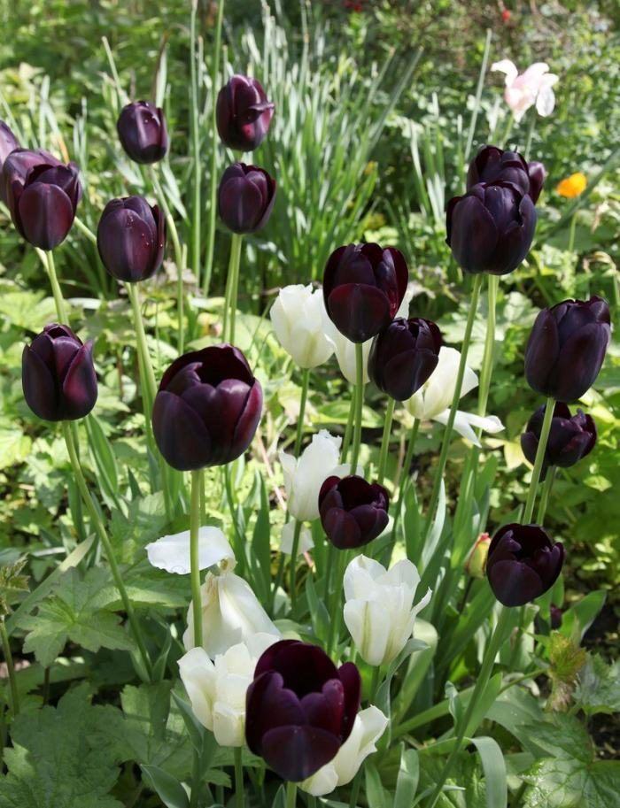 tulipas-negras