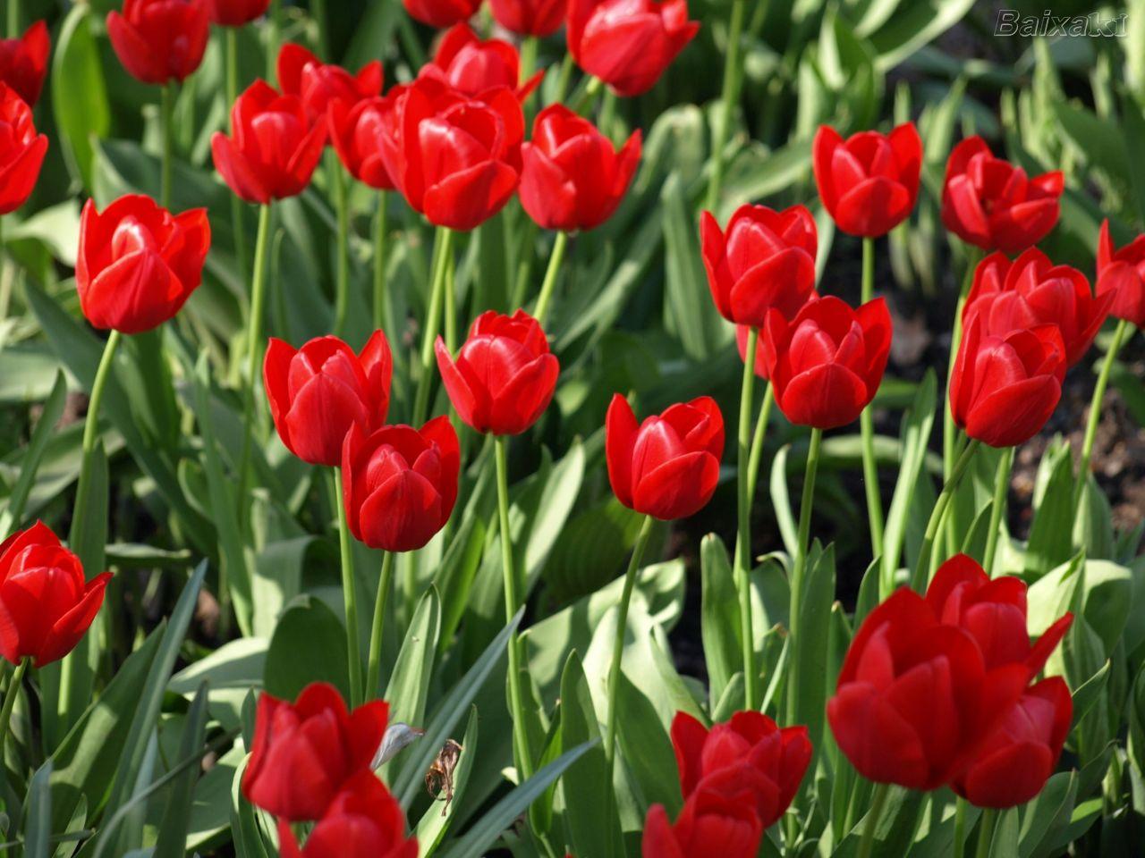 tulipas vermelhas