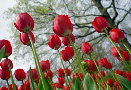 tulipas-vermelhas
