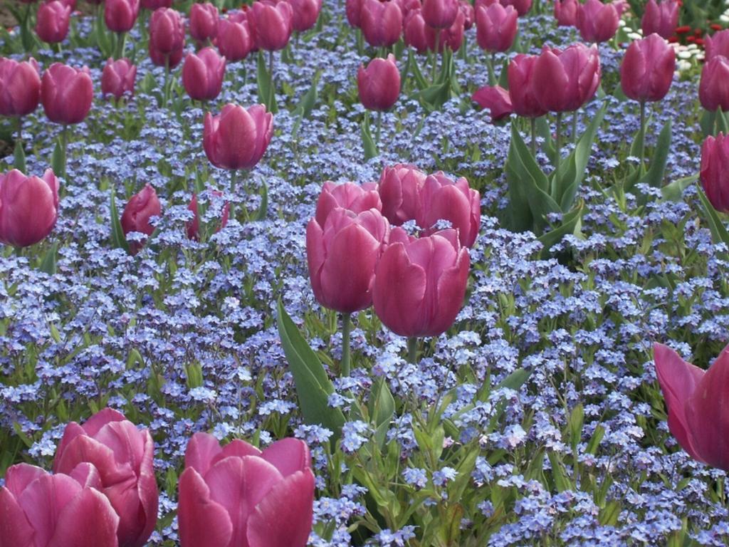 -tulipas