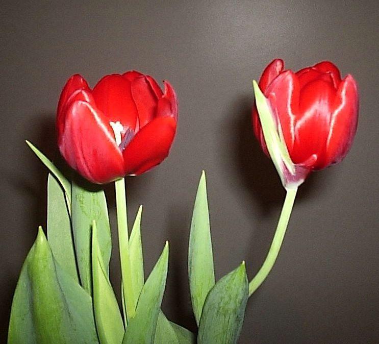 tulipas1
