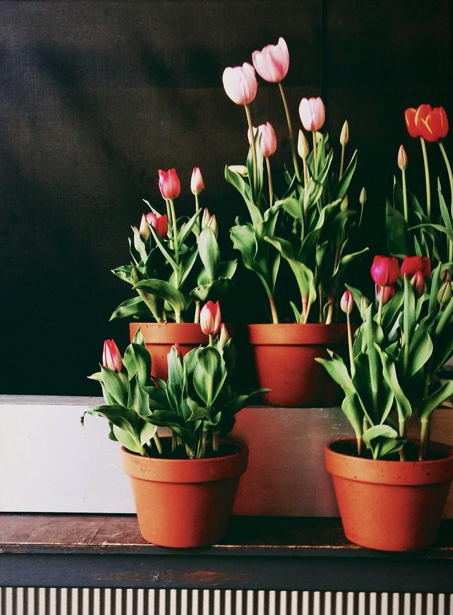 tulipa-vaso