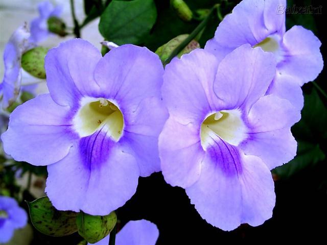 tumbergia-azul (Small)