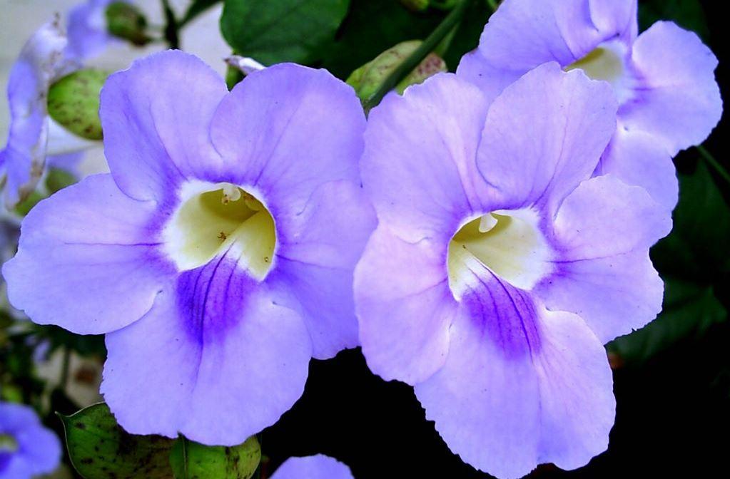 umbergia-azul_800