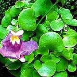 utricularia tricolor 1
