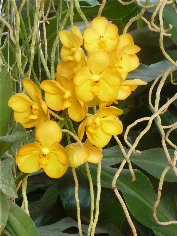 vanda amarela